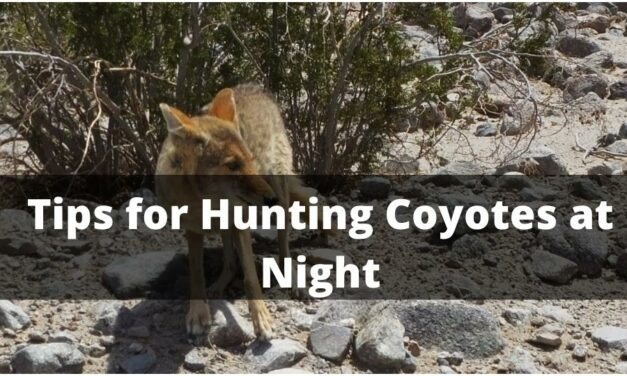 Tips for Hunting Coyotes at Night 2021